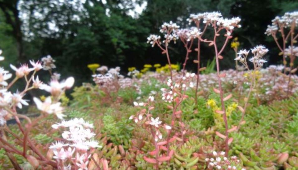 Which sedum plants should you have on your green roof?